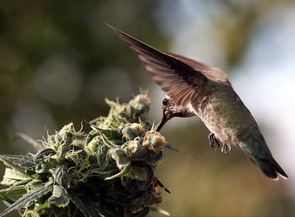 birds invading cannabis