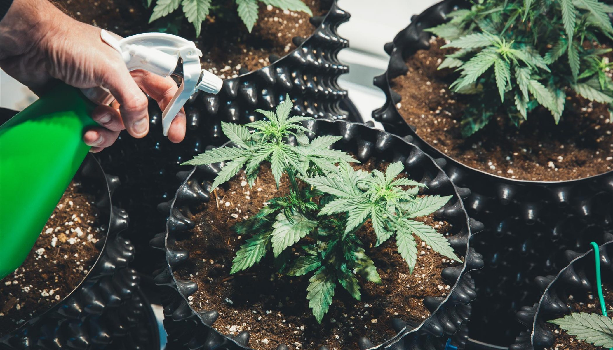 Tips To Grow Great-Tasting Marijuana