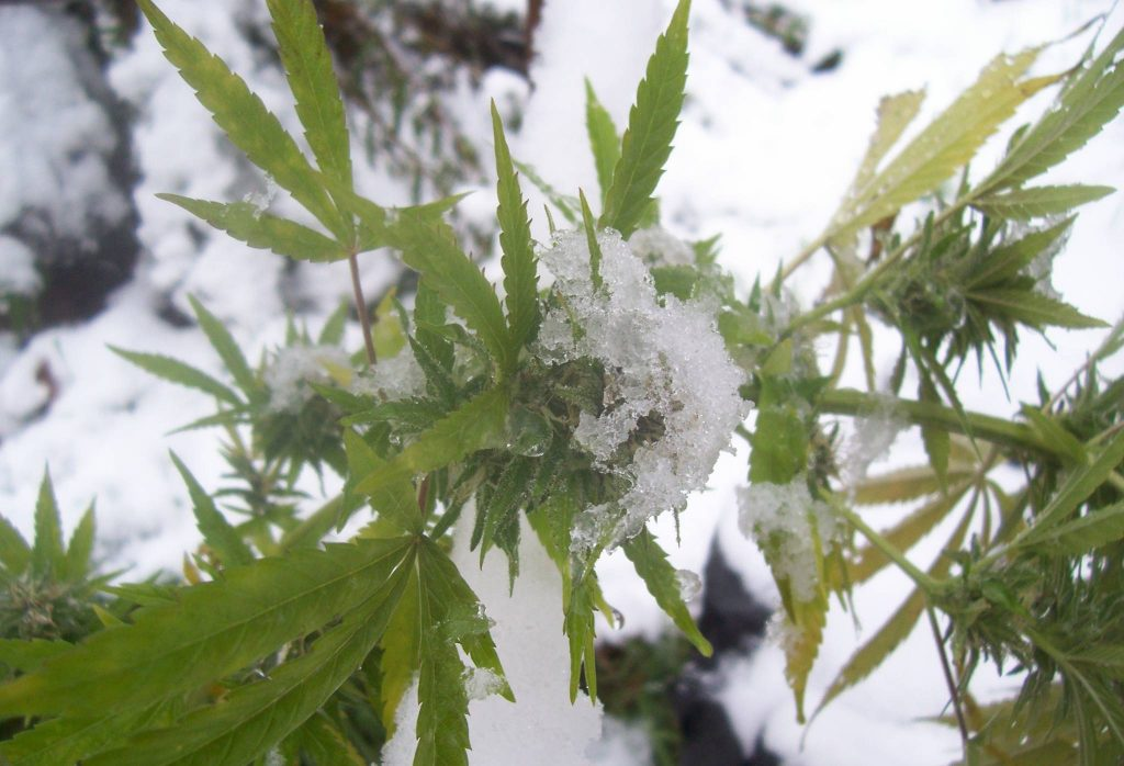 growing marijuana cold weather